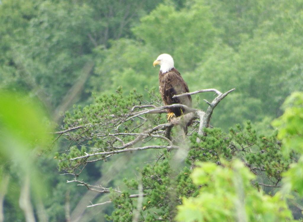 220-bald-eagle-respect