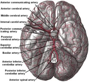 arteries_beneath_brain_gray_closer
